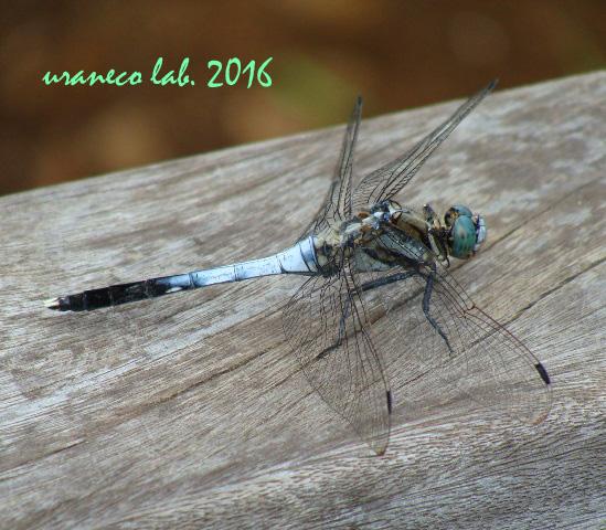 7月28日蜻蛉2