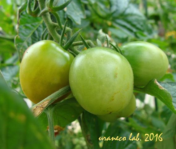 8月2日青いトマト