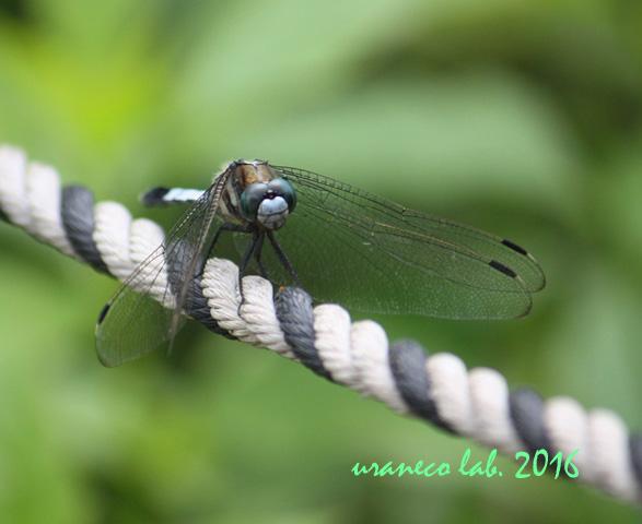 8月2日蜻蛉