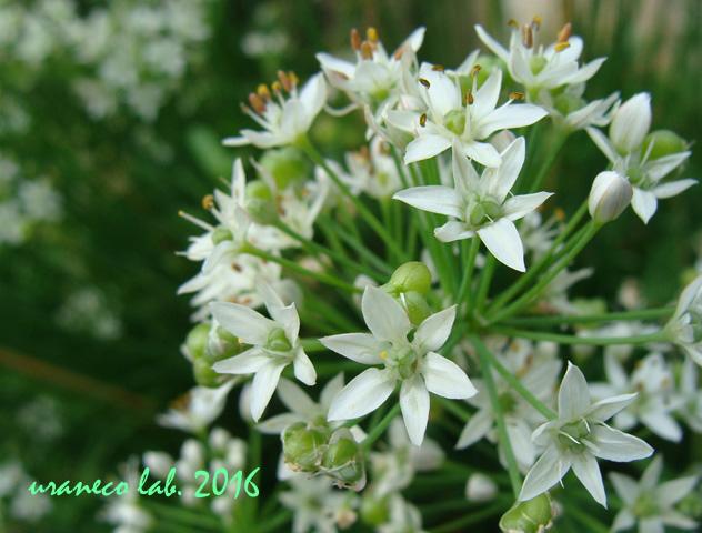 8月3日白い星の花