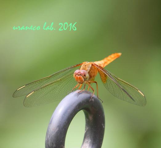 7月28日蜻蛉