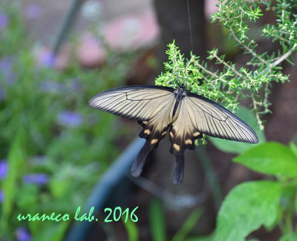 9月6日美人蝶