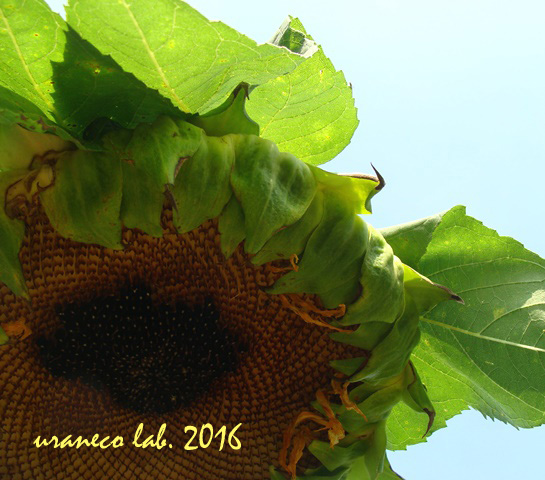 8月29日向日葵の終焉
