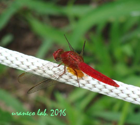 9月6日蜻蛉3