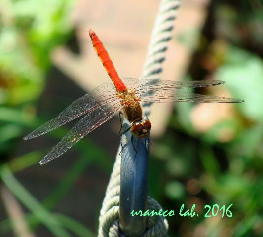 9月6日蜻蛉5