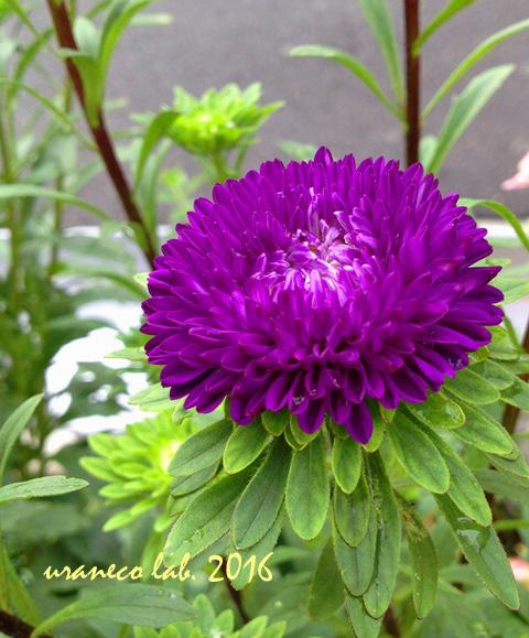 9月13日紫小菊
