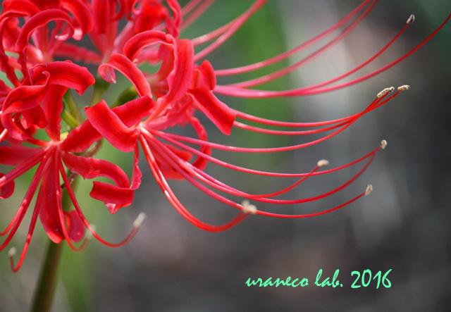 9月23日彼岸の花5