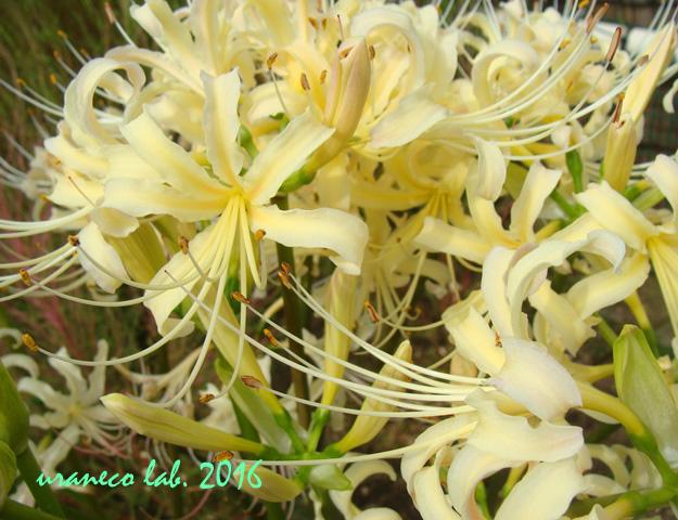 9月23日彼岸の花3