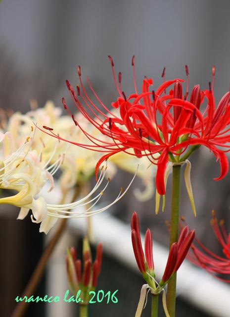 9月23日彼岸の花7