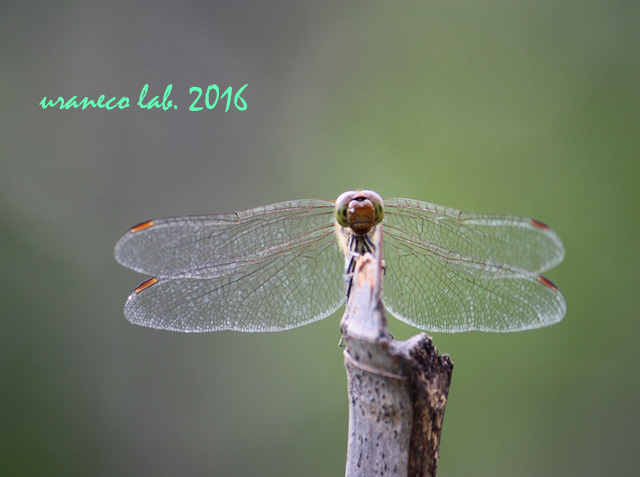 9月23日蜻蛉2