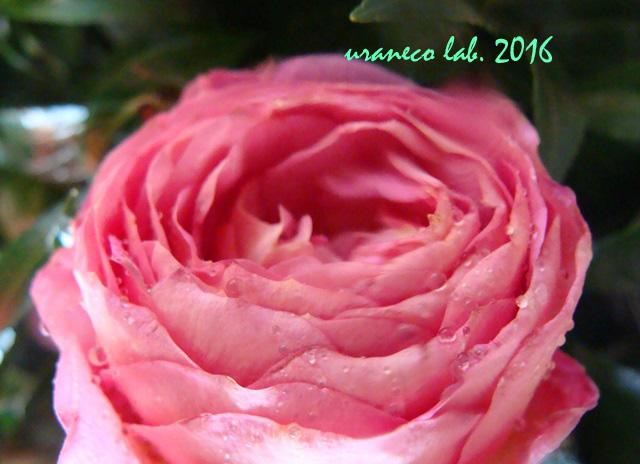 9月23日薔薇ピンク