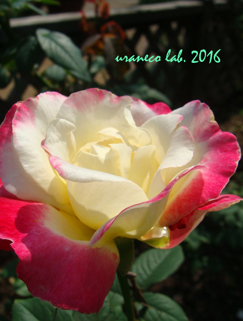 9月23日薔薇ダブルデライト