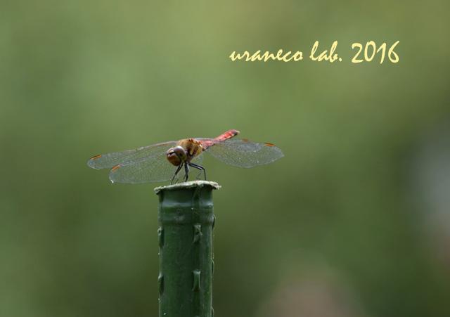 10月1日蜻蛉