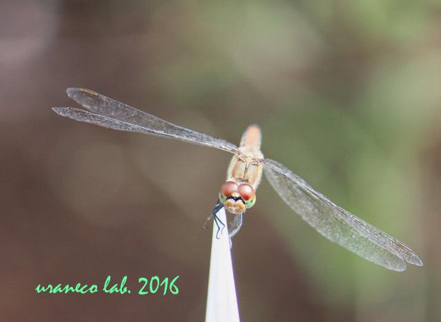 10月7日蜻蛉