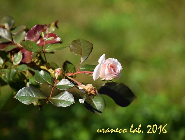 10月16日秋薔薇ナイチンゲール