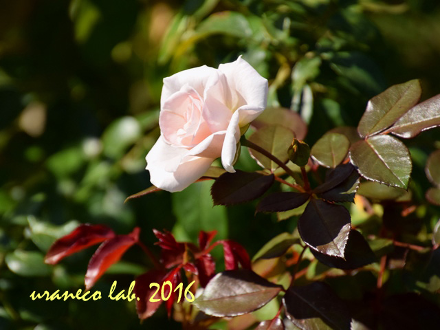 10月18日薔薇ナイチンゲール
