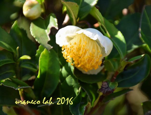 10月18日茶の花