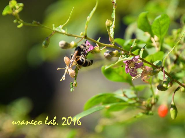 10月18日クコの花