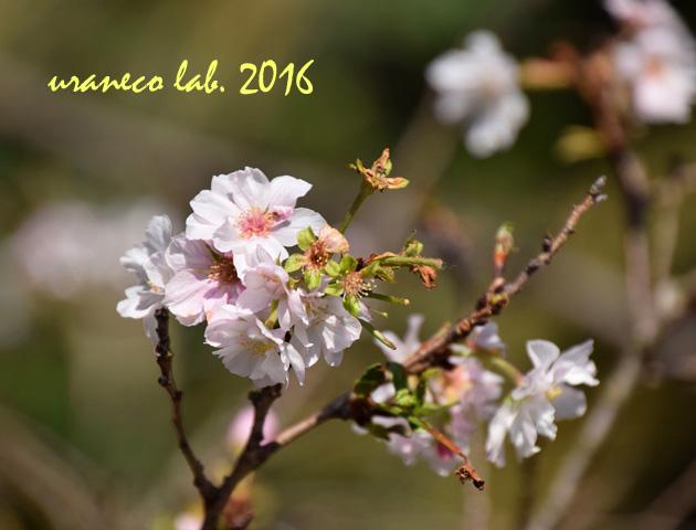 10月18日十月桜4