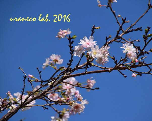 10月18日十月桜