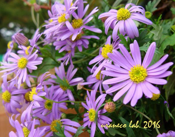 10月25日紫色の小菊2