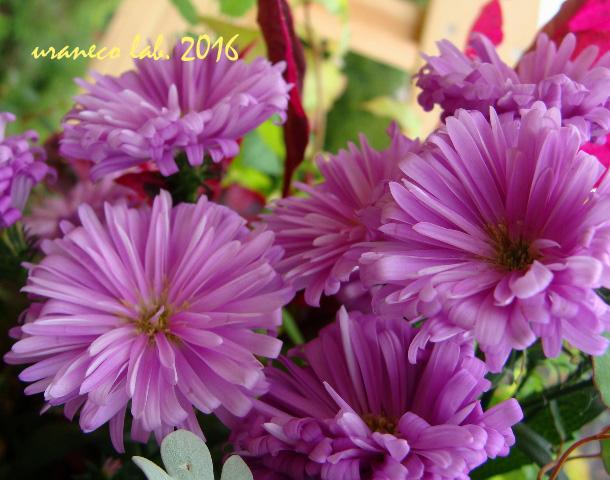 10月25日紫色の小菊