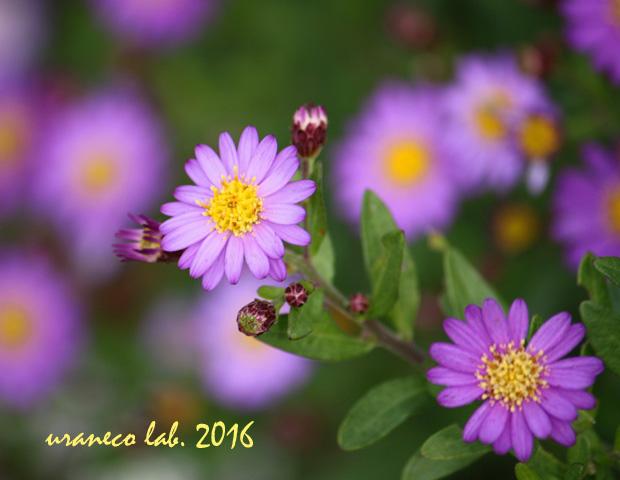 10月25日紫色の小菊3