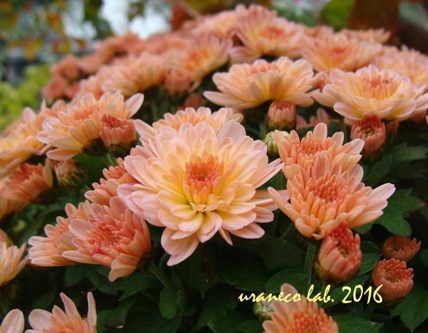 10月25日オレンジ色の小菊