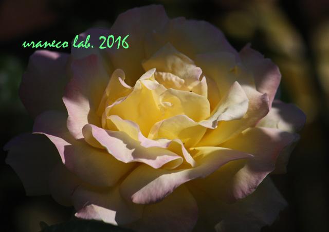10月27日薔薇ピース