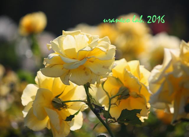 10月27日黄色い薔薇2