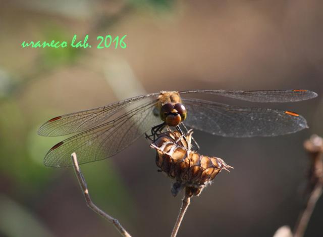 10月27日蜻蛉2