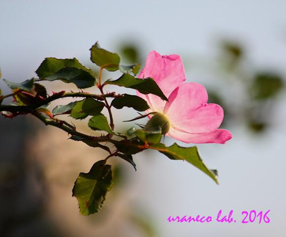 11月1日薔薇5