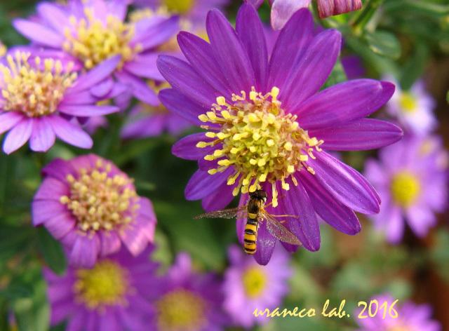 11月1日紫小菊2