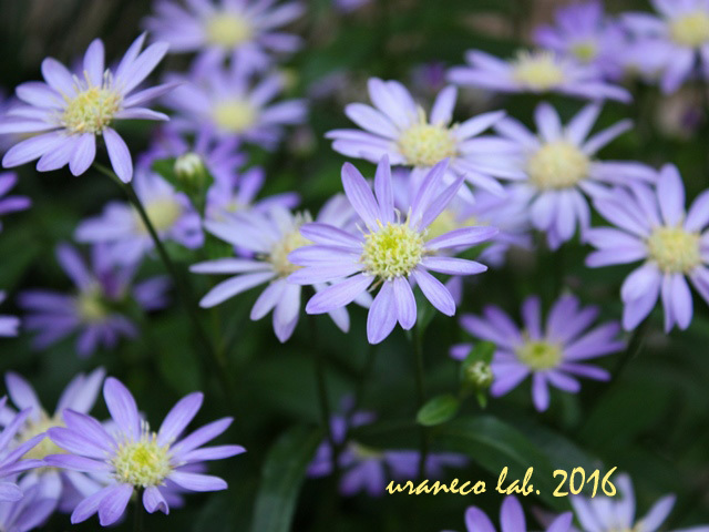 11月1日紫小菊