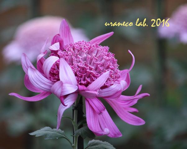 11月1日菊の花