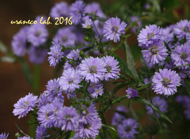 11月1日紫小菊4