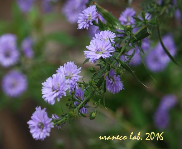 11月1日紫小菊3