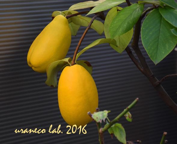 11月8日鉢植えの黄色い実