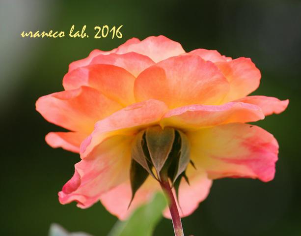 11月1日薔薇