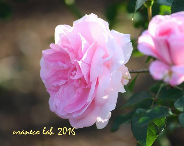 11月1日薔薇2