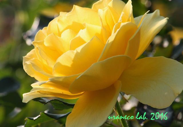 11月1日薔薇9