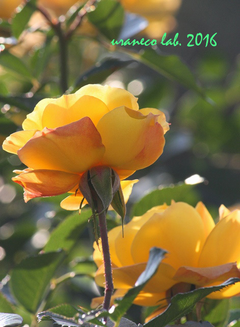 11月1日薔薇7