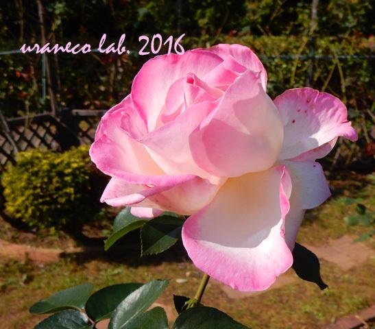 11月7日薔薇2
