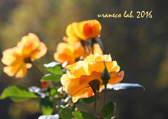 11月1日薔薇3