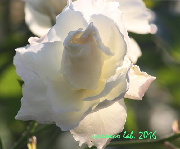 11月1日薔薇6