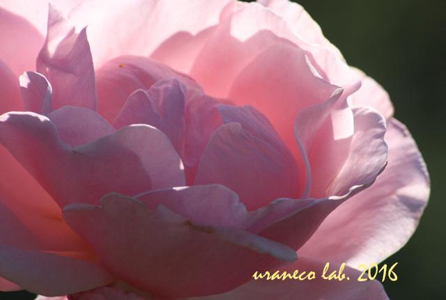 11月14日薔薇3
