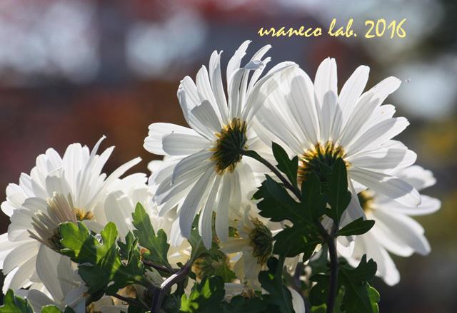 11月14日白菊