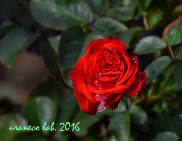 11月22日薔薇オリンピックファイア