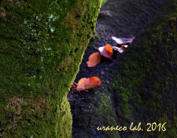 11月22日サクラ老木