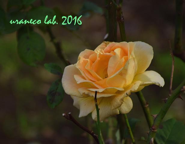 11月22日薔薇ハニーブーケ